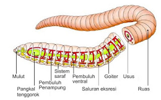 Sistem pernapasan cacing