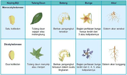 Perbedaan Tumbuhan Dikotil Dan Monokotil Gim Bi