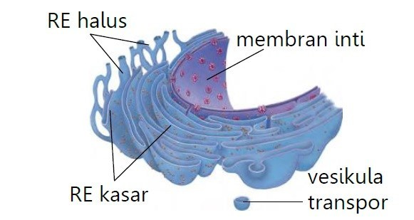 Fungsi Retikulum Endoplasma: Pengertian, Jenis Jenis ...